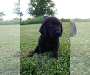 Labrador Retriever Puppy for Sale in SOUTH WAYNE, Wisconsin USA