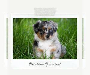Miniature Australian Shepherd Puppy for Sale in ALVATON, Kentucky USA