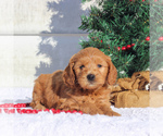 Small #2 Goldendoodle (Miniature)