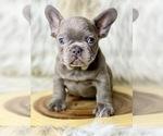 Small Photo #3 French Bulldog Puppy For Sale in OJAI, CA, USA
