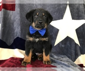 Euro Mountain Sheparnese Puppy for sale in CHRISTIANA, PA, USA