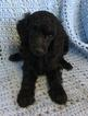 Poodle (Miniature) Puppy For Sale in MISSION, TX