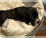Puppy 7 American Bulldog-Golden Retriever Mix