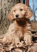 Small #3 Golden Retriever-Poodle (Toy) Mix