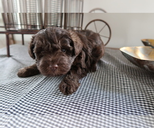 Schnoodle (Miniature) Puppy for sale in FORT WAYNE, IN, USA