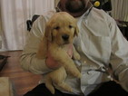 Golden Retriever Puppy For Sale in SHINGLE SPRINGS, CA
