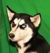 Siberian Husky Puppy For Sale in SHAWNEE, OK, USA