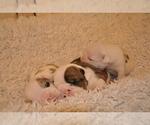 Small #22 English Bulldog