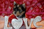Morkie Puppy For Sale in FAIRFIELD, OH
