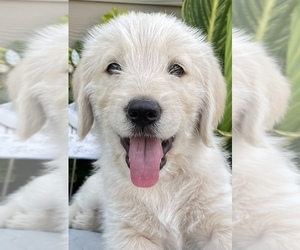 Goldendoodle Puppy for sale in NEWBERG, OR, USA