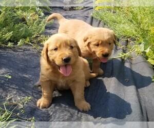 Golden Retriever Puppy for Sale in TWIN FALLS, Idaho USA
