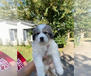 Great Pyrenees Puppy for sale in PICKENS, SC, USA