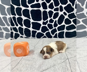 Poodle (Toy)-Yorkshire Terrier Mix Puppy for sale in BUXTON, ND, USA