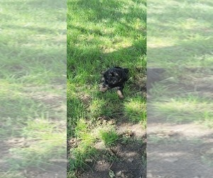 Shorkie Tzu Puppy for sale in WATERLOO, IA, USA