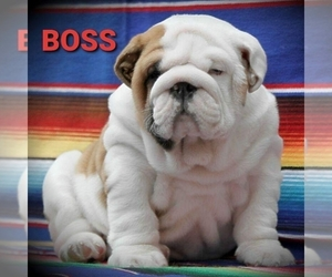 English Bulldog Puppy for Sale in BROOKLYN, New York USA
