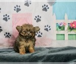 Puppy 6 Pom-A-Poo-Poodle (Toy) Mix