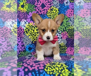 Pembroke Welsh Corgi Puppy for sale in CHRISTIANA, PA, USA