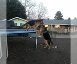 Small #13 German Shepherd Dog