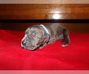 Great Dane Puppy for sale in POTOSI, MO, USA