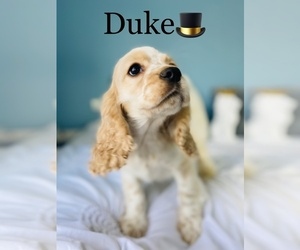Cocker Spaniel Puppy for Sale in COOKEVILLE, Tennessee USA