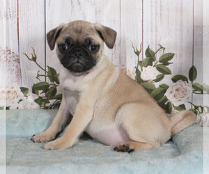Pug Puppy for sale in PENNS CREEK, PA, USA