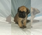 Small #35 Mastiff