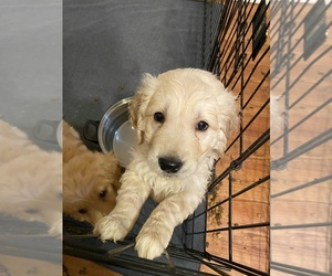Golden Retriever Puppy for sale in JACKSONVILLE, NC, USA