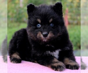 Pomsky Puppy for sale in GAP, PA, USA