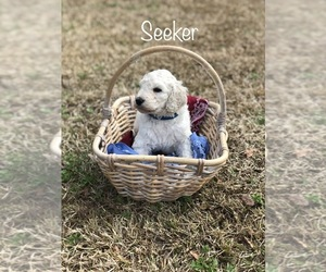 Poodle (Standard) Puppy for Sale in SIMPSONVILLE, South Carolina USA