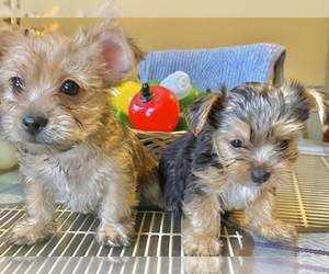 Chorkie Puppy for sale in MANHATTAN, NY, USA