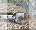 Small #19 Jack Russell Terrier