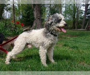 Father of the Goldendoodle-Poodle (Miniature) Mix puppies born on 04/17/2020