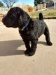 Airedoodle Puppy For Sale in SAINT GEORGE, UT, USA