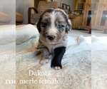 Puppy 7 Australian Retriever