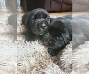 Labrador Retriever Puppy for sale in DENVER, CO, USA