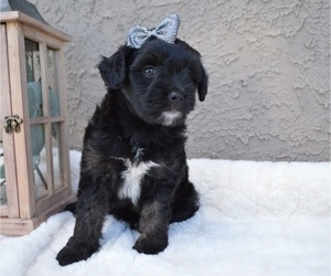 Border Collie-Poodle (Miniature) Mix Puppy for sale in HONEY BROOK, PA, USA