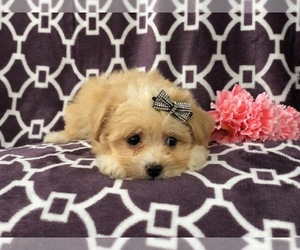 Maltipoo Puppy for sale in LAKELAND, FL, USA