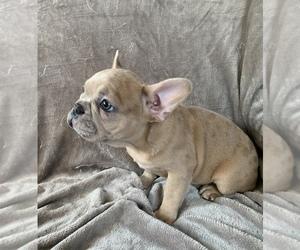 French Bulldog Puppy for sale in MBORO, TN, USA