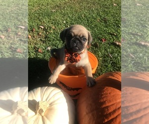Pug Puppy for sale in CABOT, PA, USA