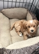 Maltipoo Puppy For Sale in ALLENTOWN, PA, USA