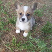 Pembroke Welsh Corgi Puppy For Sale in BLISS, ID,