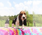 Small Photo #7 Basset Hound Puppy For Sale in UNION CITY, TN, USA