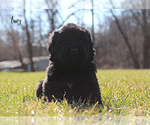 Puppy 11 Newfoundland