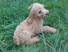 Poodle (Standard) Puppy For Sale in MUNITH, MI, USA