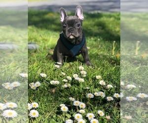 French Bulldog Dog for Adoption in SACRAMENTO, California USA