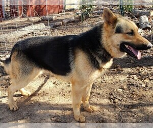 German Shepherd Dog Dog for Adoption in GAFFNEY, South Carolina USA