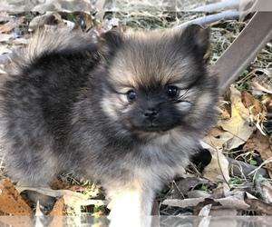 Pomeranian Puppy for sale in BURNS, TN, USA