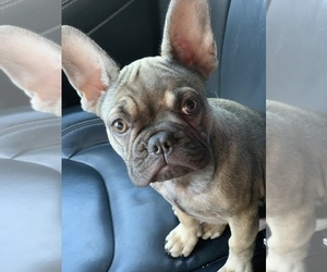 French Bulldog Puppy for sale in IRVING, TX, USA