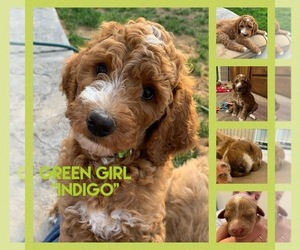 Goldendoodle-Poodle (Standard) Mix Puppy for Sale in CALDWELL, Idaho USA