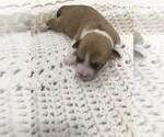 Puppy 4 Havachon